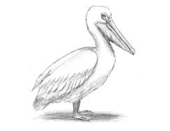 draw-pelican