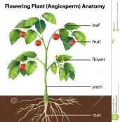 parts-plant-illustration-showing-tomato-34313421