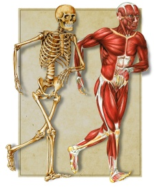 bones-and-muscles-body-chart-photo