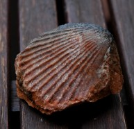 Fossil scallop from Garraf