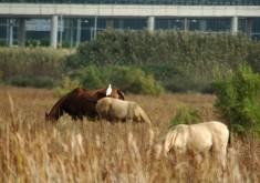 wild horses grazing next to airport onramp