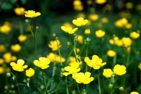 buttercups-g